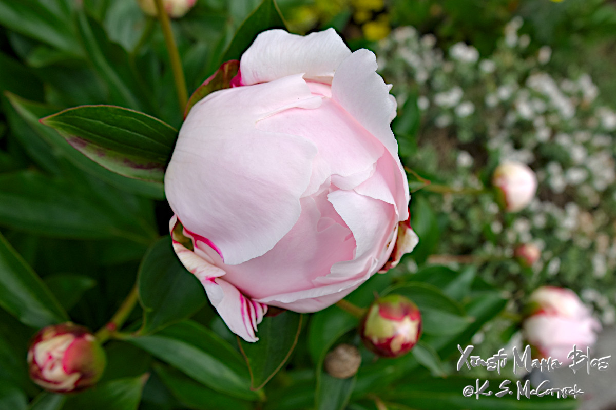 The pale pink peopny bud is still mostly furled, but a few more petals are opening out.