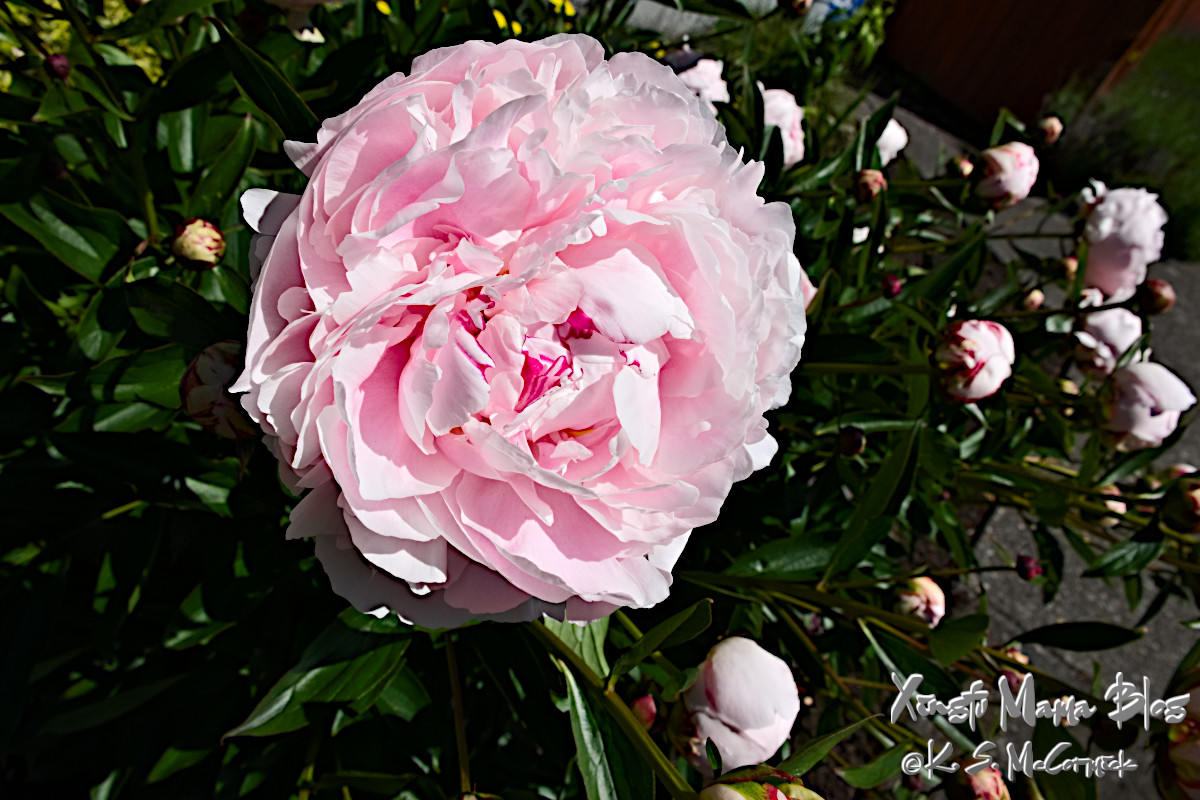 A pale pink peony flower in full bloom.