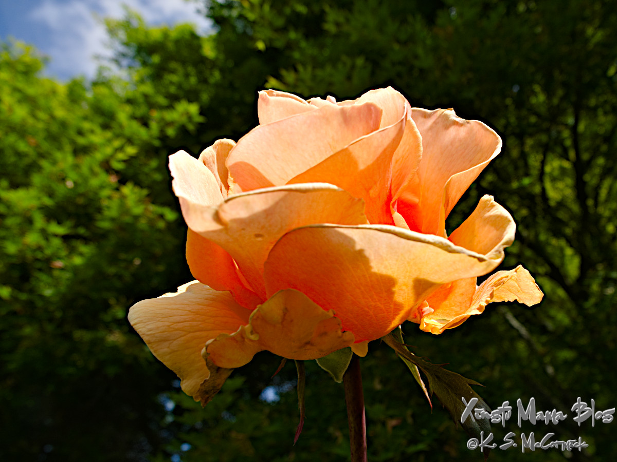 Morning sunlight lights an orange rose against a backdrop of green trees.