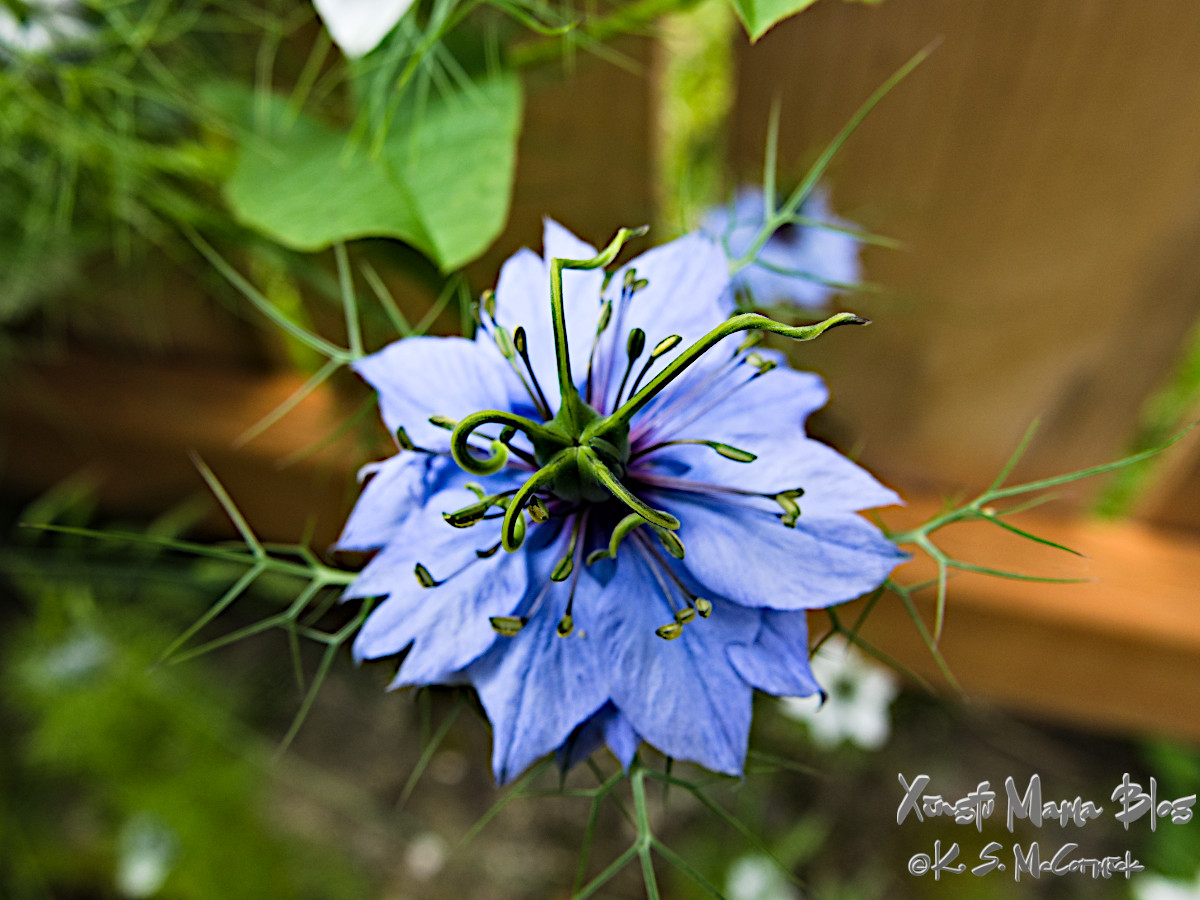 Blue love-in-a-mist flower close-up.