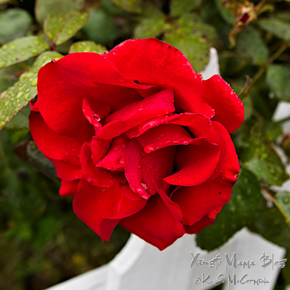 A single red rose with raindrops.