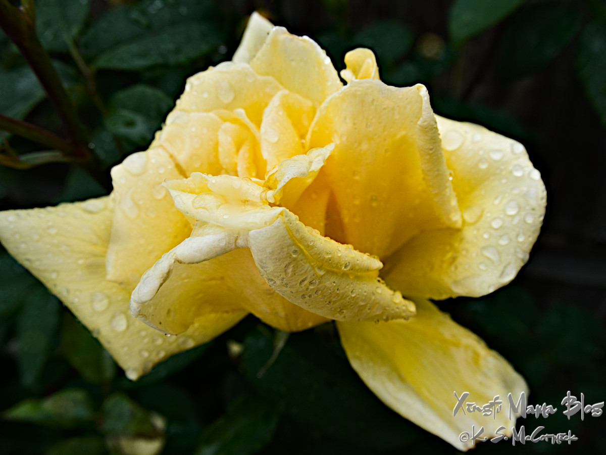Yellow rose with raindrops.
