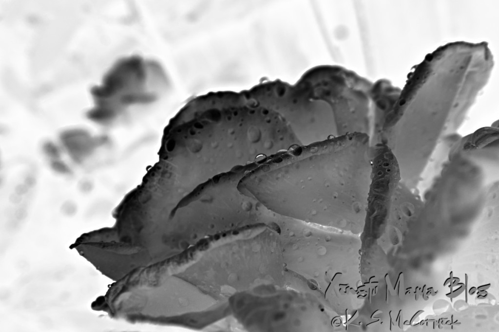 A black and white of the rose with the colors inverted.