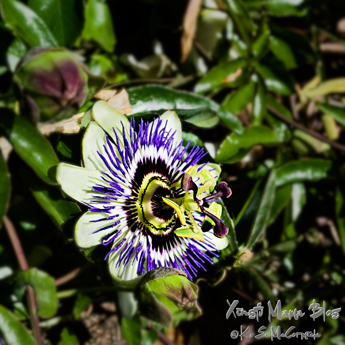 Passion flower with its dramatic purple, white and black markings and pop-out center.