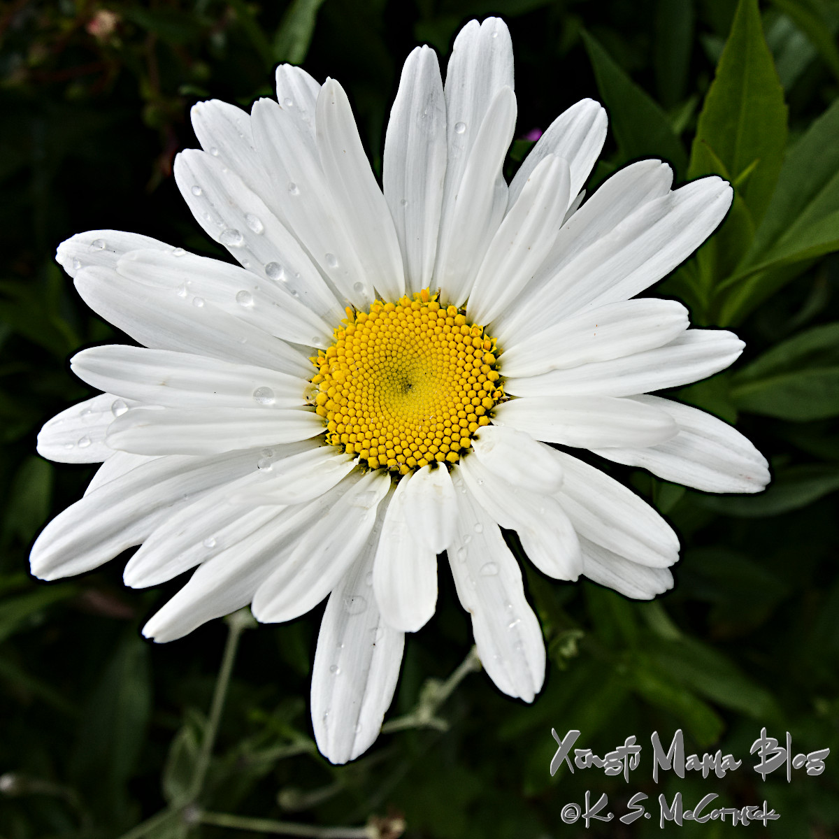 A simple single Shasta daisy, with a few raindrops.