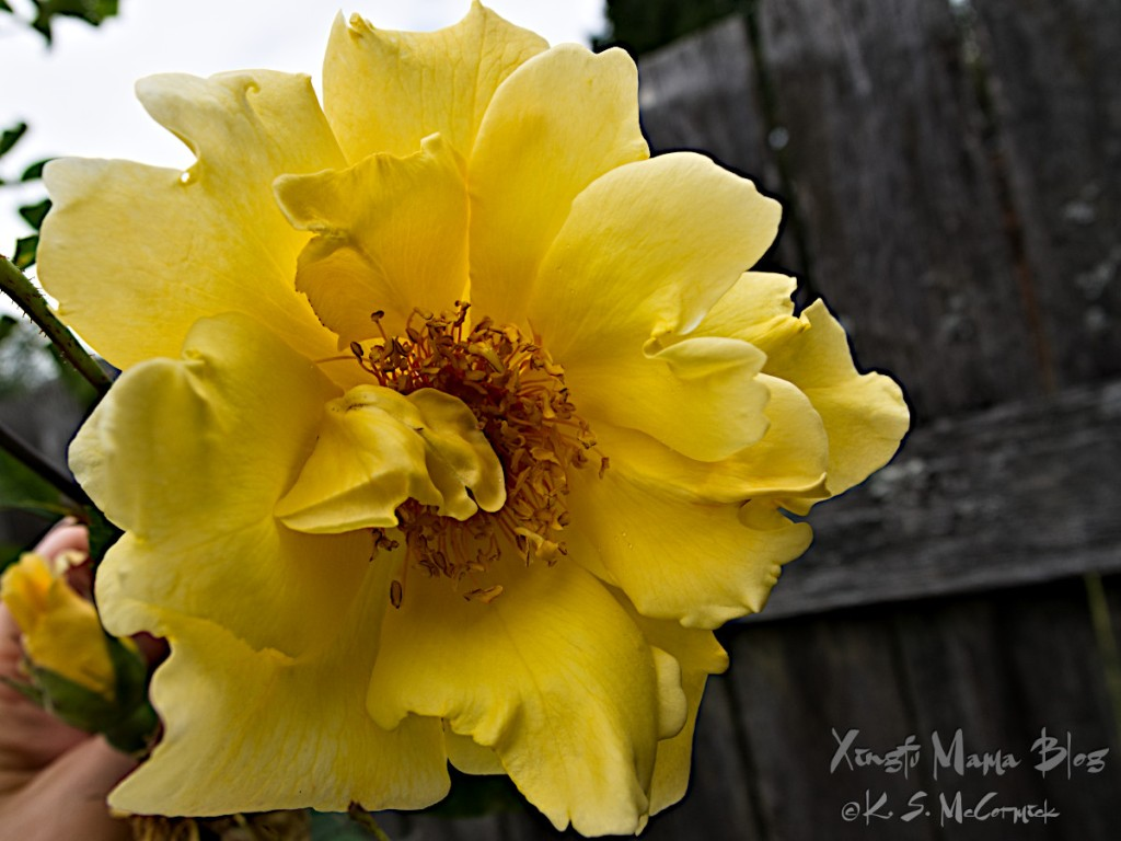 A yellow rose in full bloom.