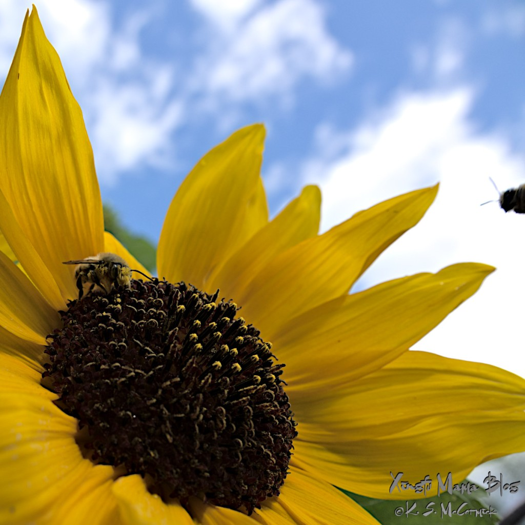 Close-up of a honey bee on a sunflower. Another bee, on the edge of the photo, is flying in to join it.