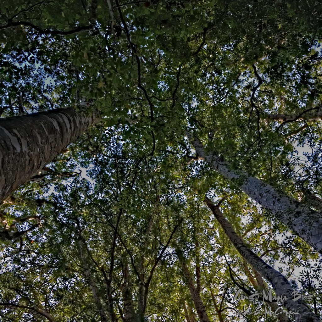 Looking up at the forest canopy formed by kauri trees.