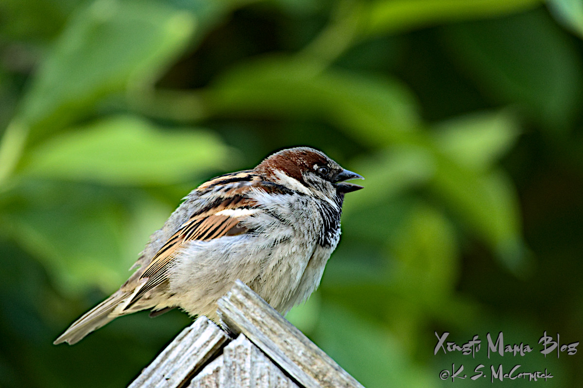 Common sparrow.