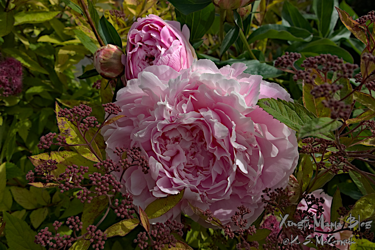 Pink peonies in full bloom.