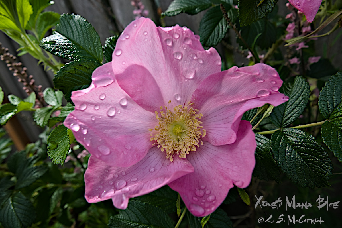 Rosa rugosa with raindrops.