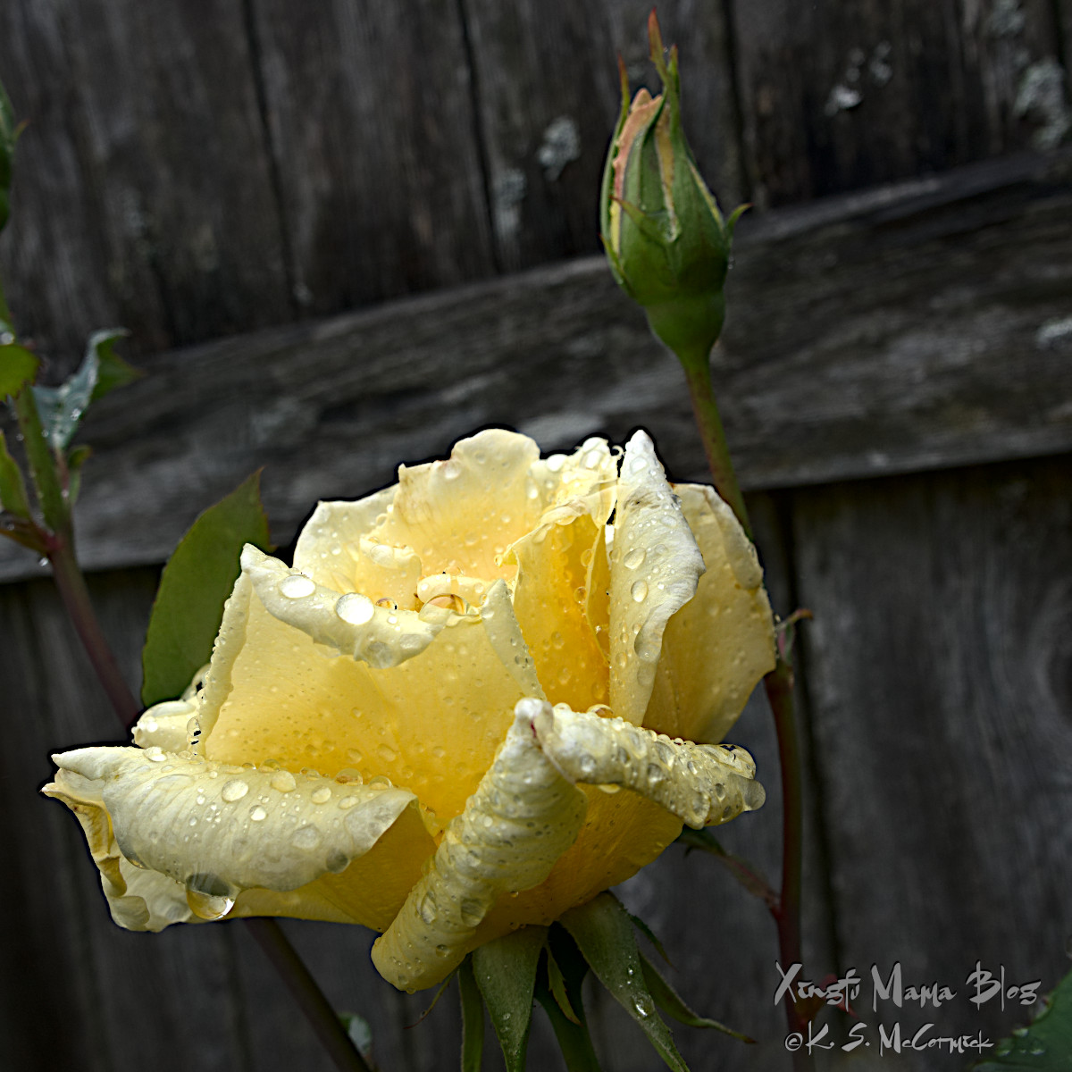 A yellow rose covered with raindrops.