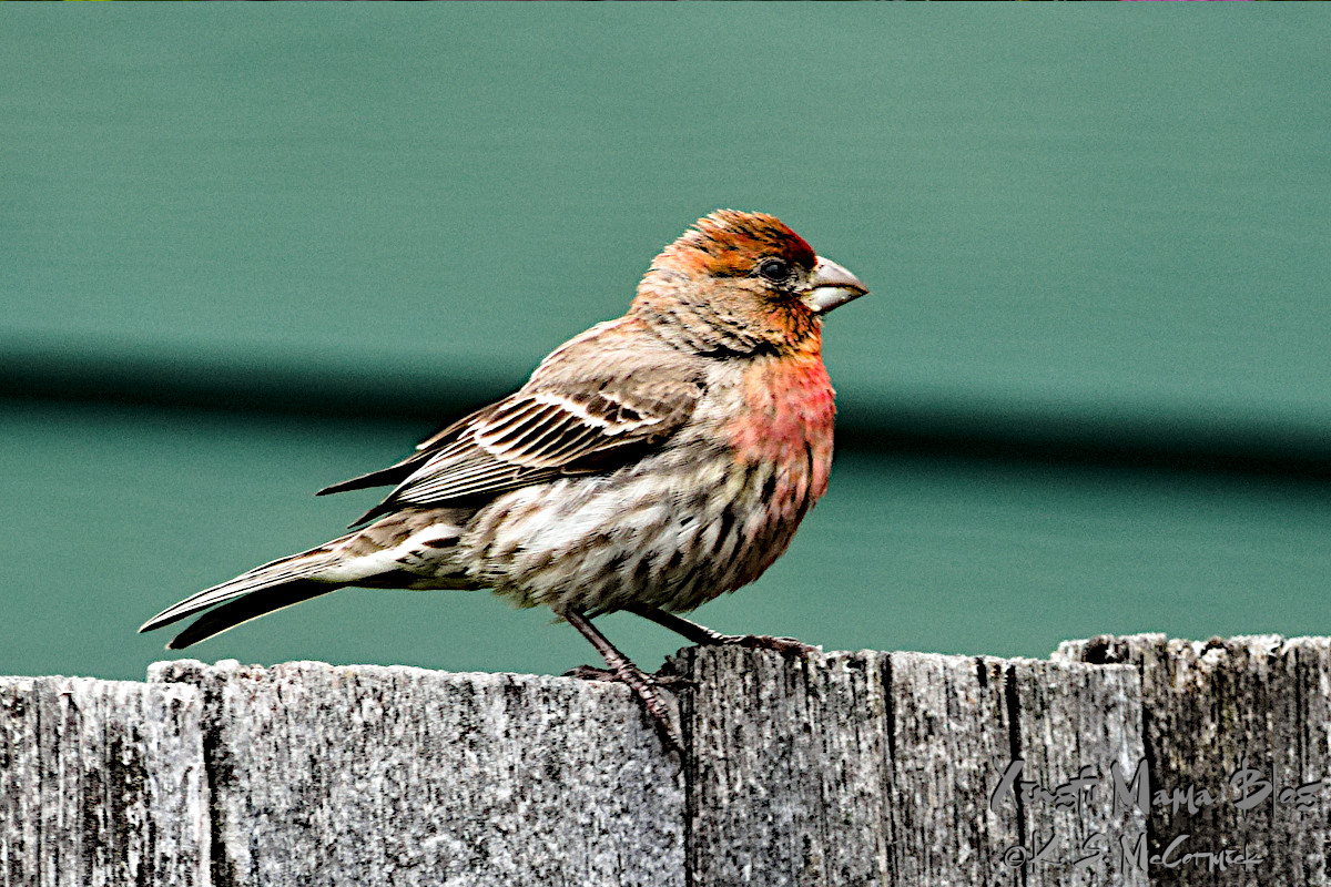 Common house finch with its red and rust colored markings.