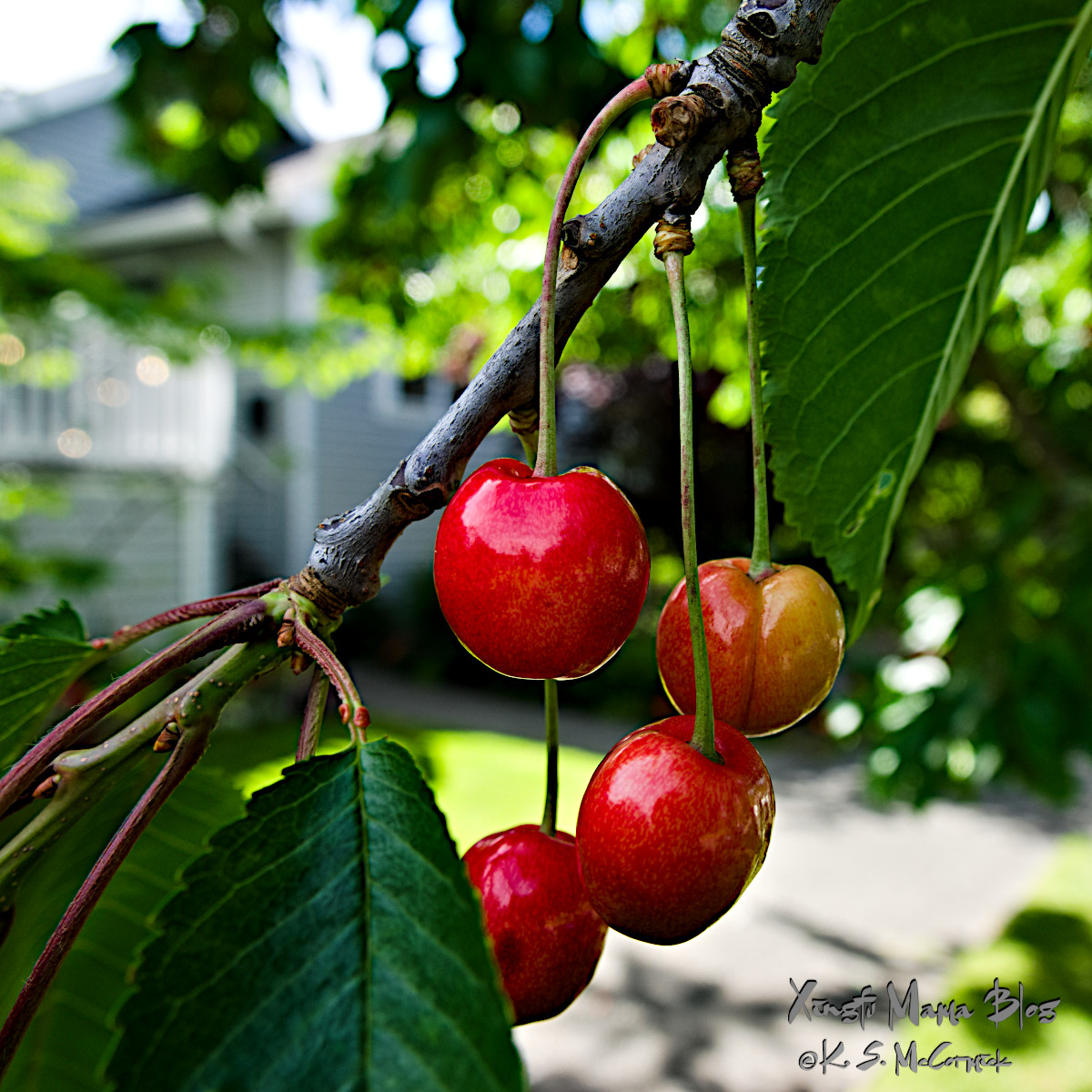 Ripe red cherries.