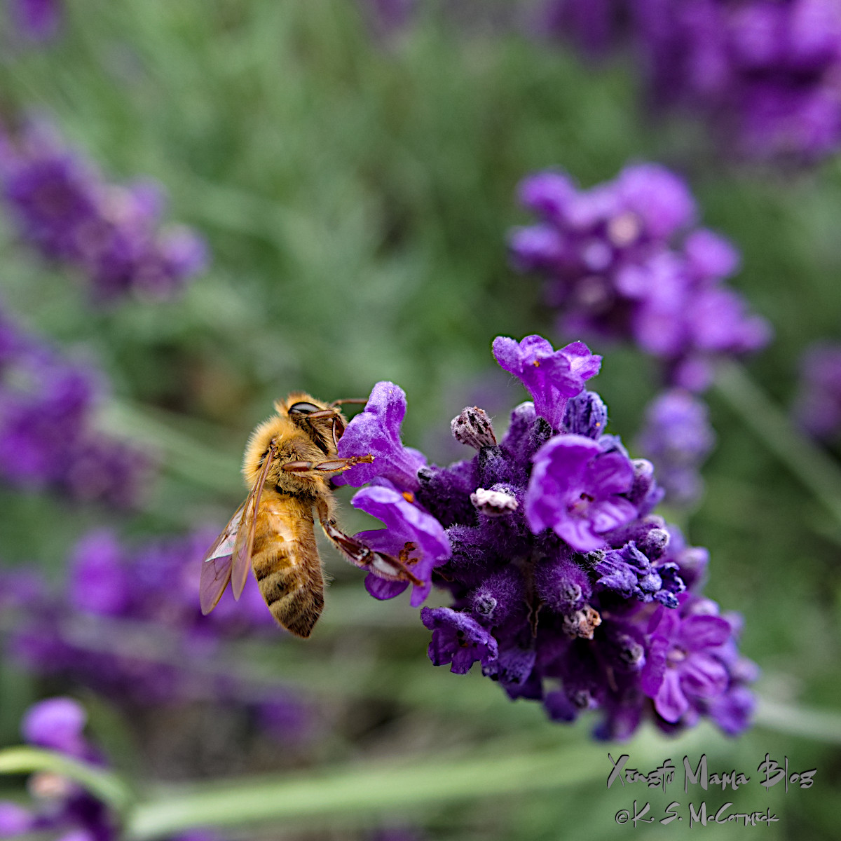 Close-up of a honey bee on a lavender flower.