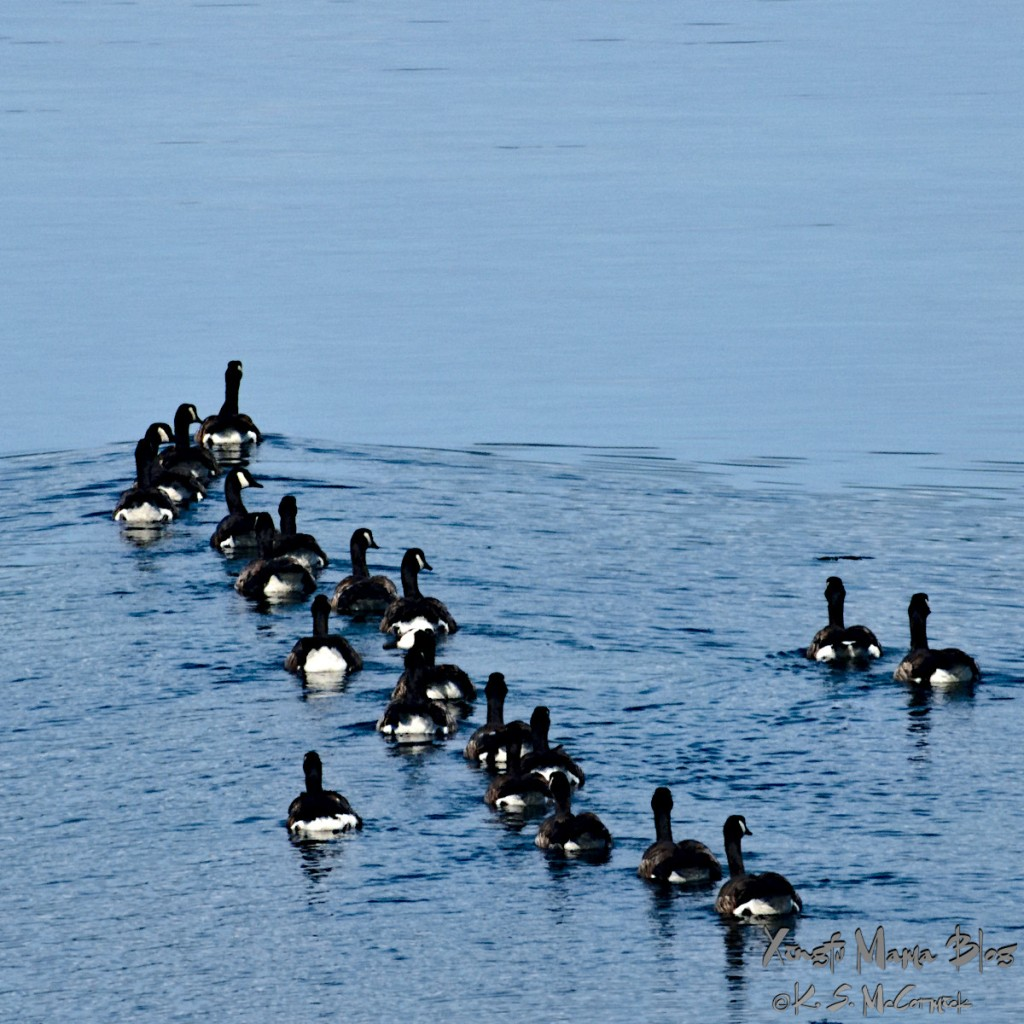 A gaggle of Canadian geese heading out for a morning on the tide flats.