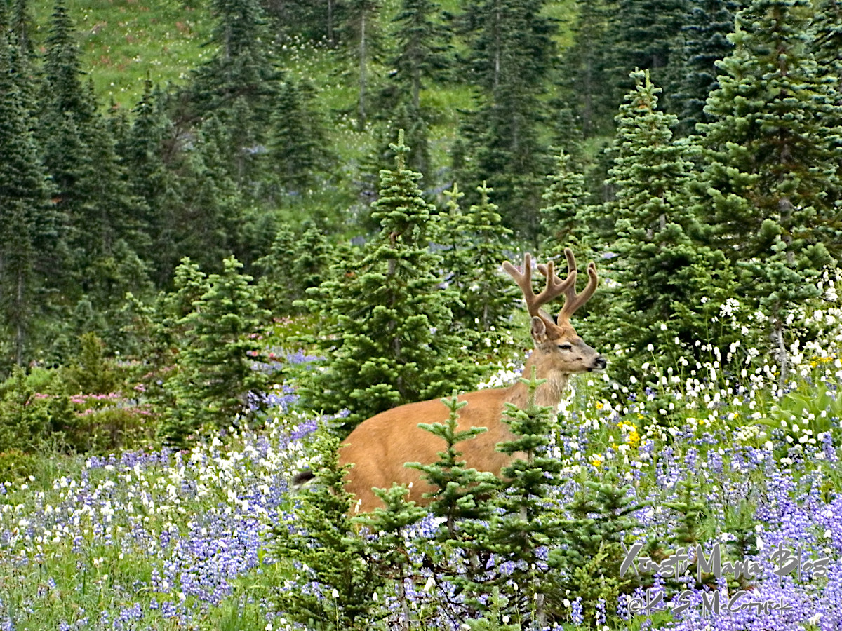 Four point buck mule deer in a meadow of lupines.