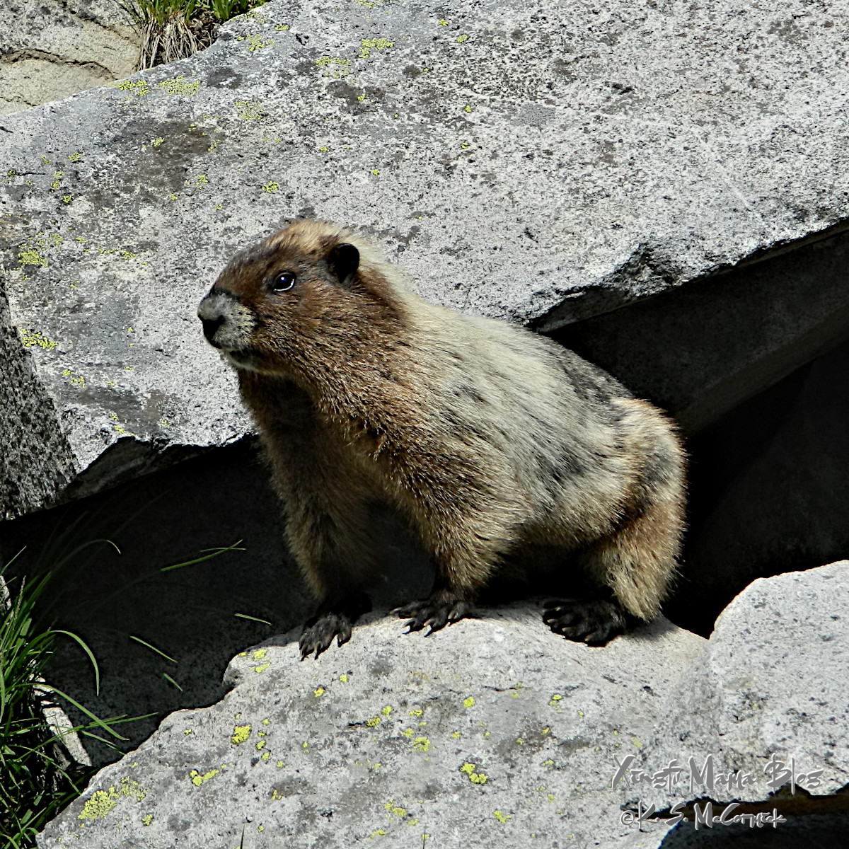 Wooley marmot ready to make a quick get-away into a stony cave.