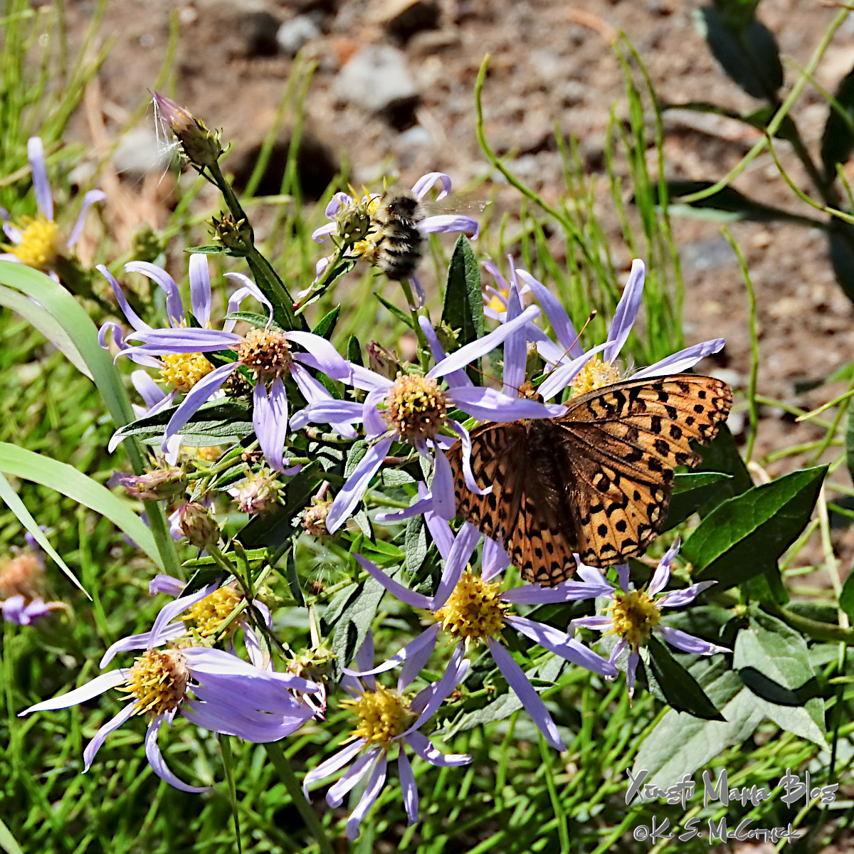 An orange and black fritillay butterfly on a purple mountain aster in the meadows at Paradise on Moutn Rainier.