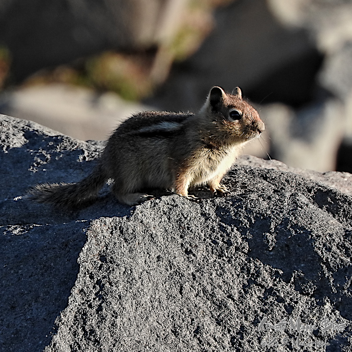 Small golden mantle ground squirrel on a rock.
