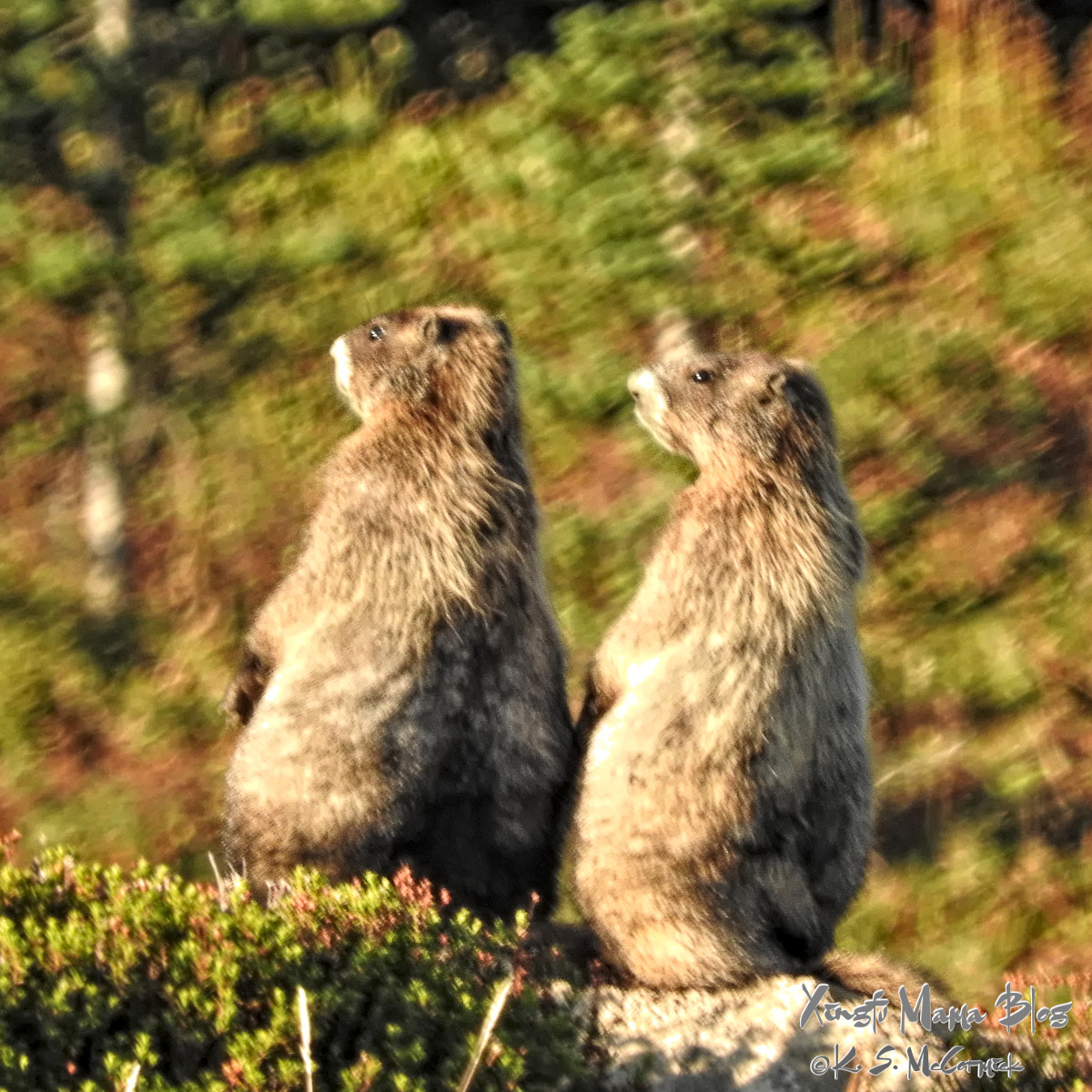 Two wooley marmots sitting together watching the sunset.