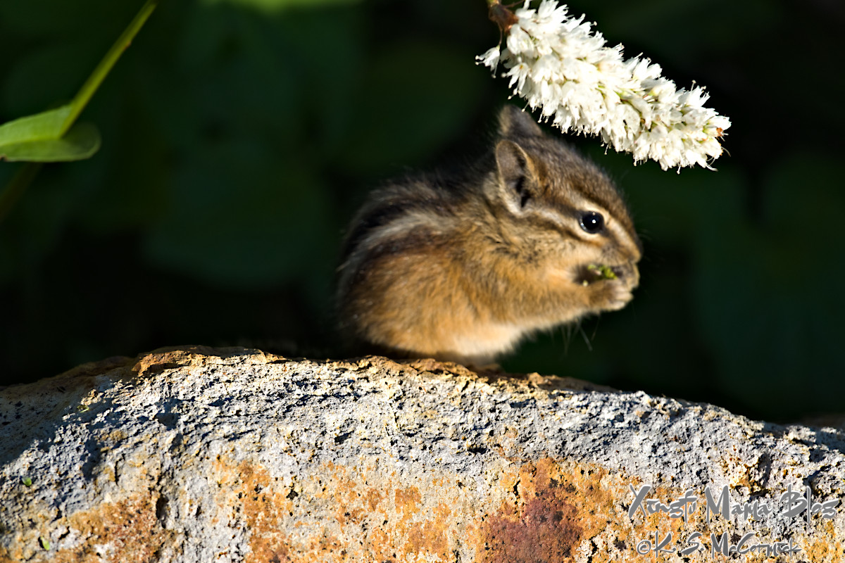 Small chipmunk eating a flower.