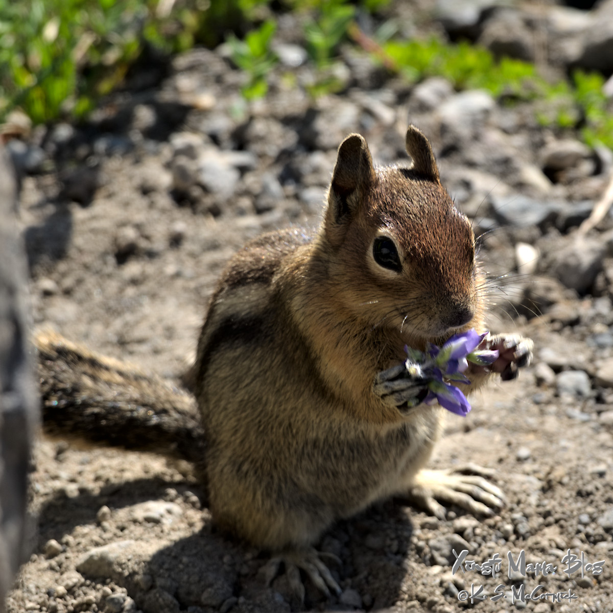 Golden mantle ground squirrel munching on a lupine.
