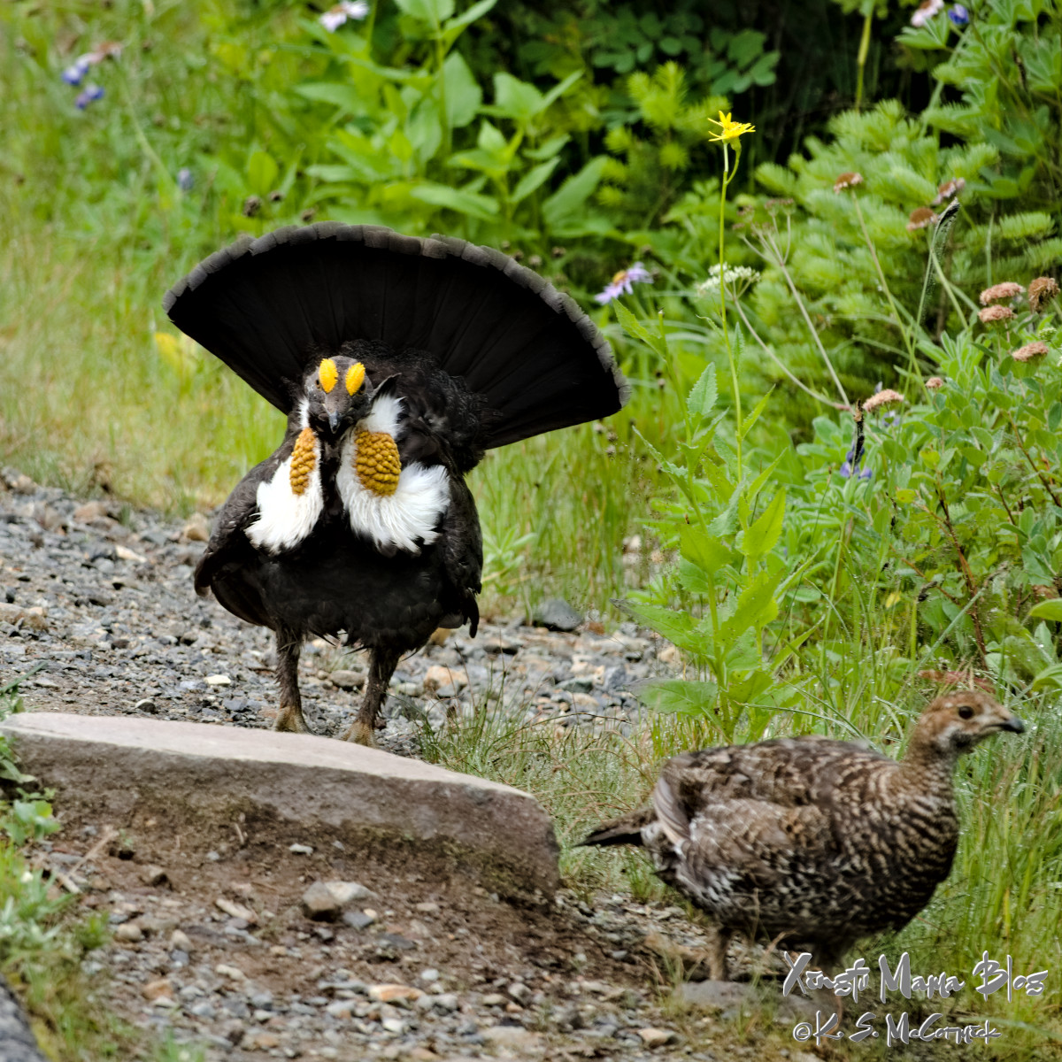 Blue grouse courting: the male has his tail spread and bright yellow facial spots showing.