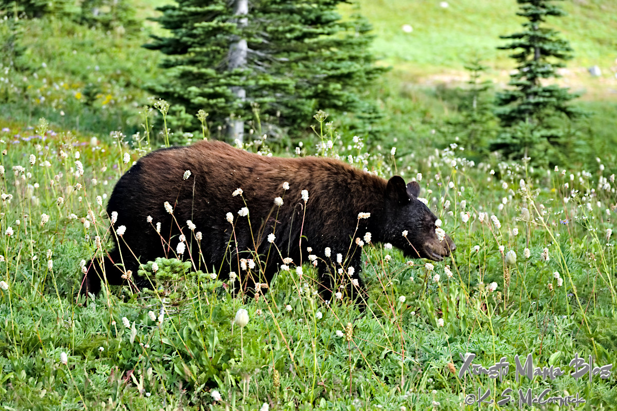 Black bear in the meadows at Paradise.
