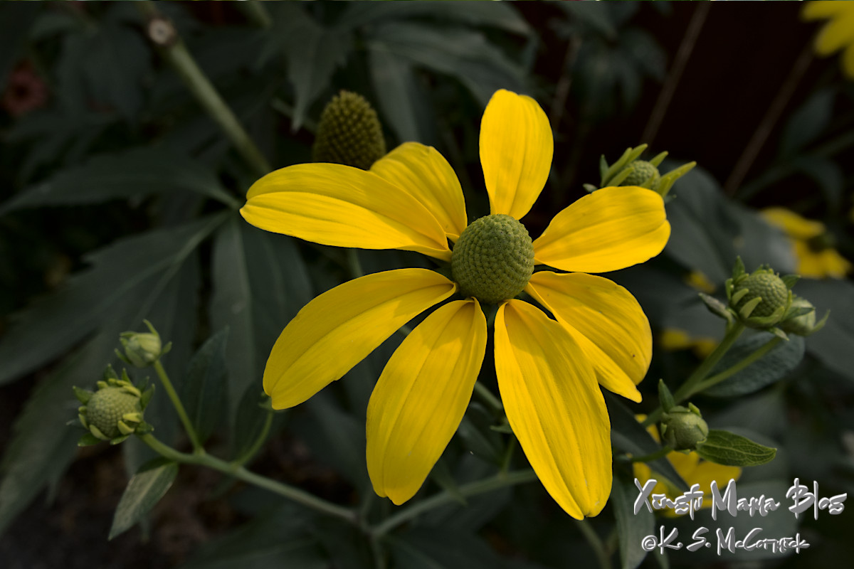 Yellow cone flower.