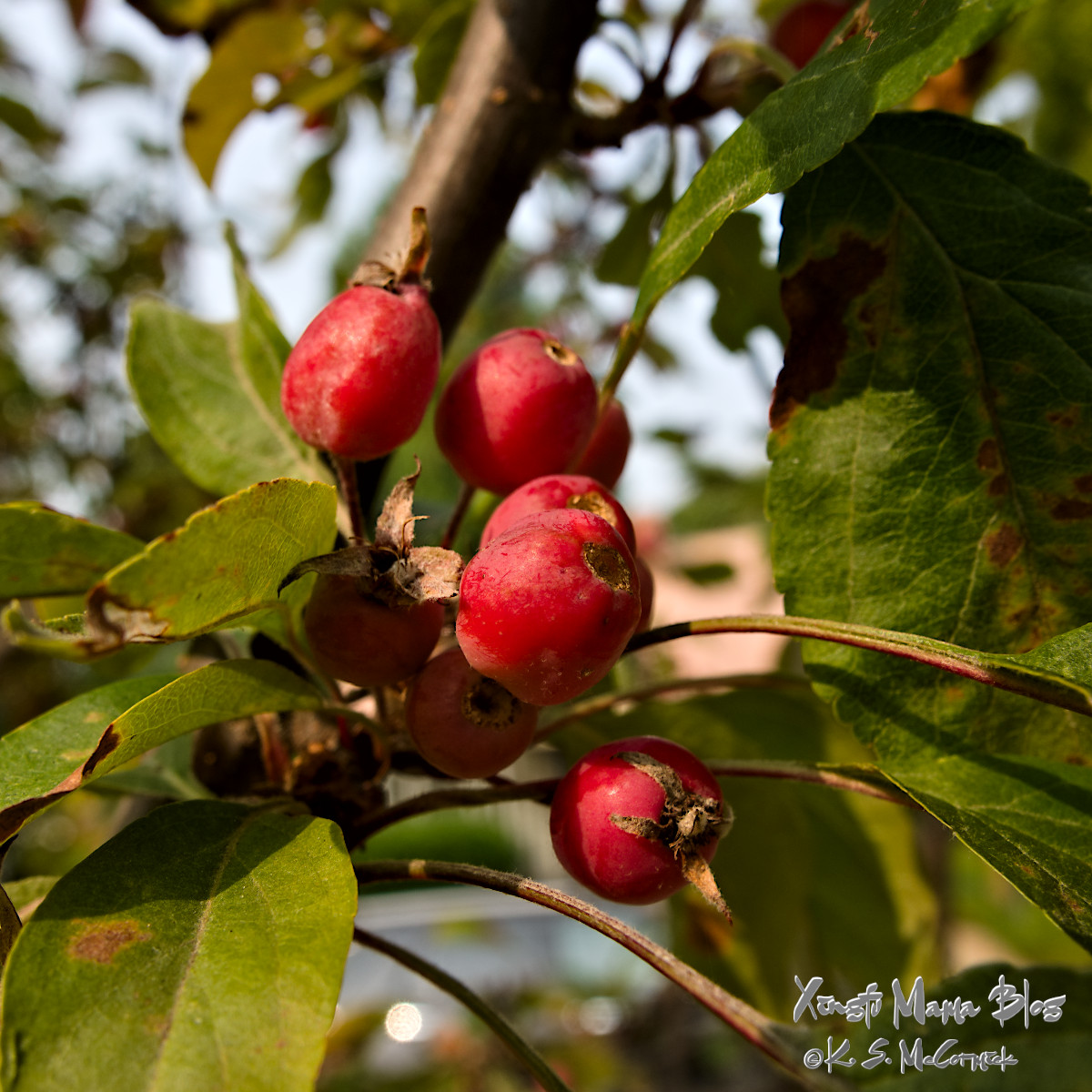 Small red fruits, they might be tiny crab apples or Shan zha (hawthorne).