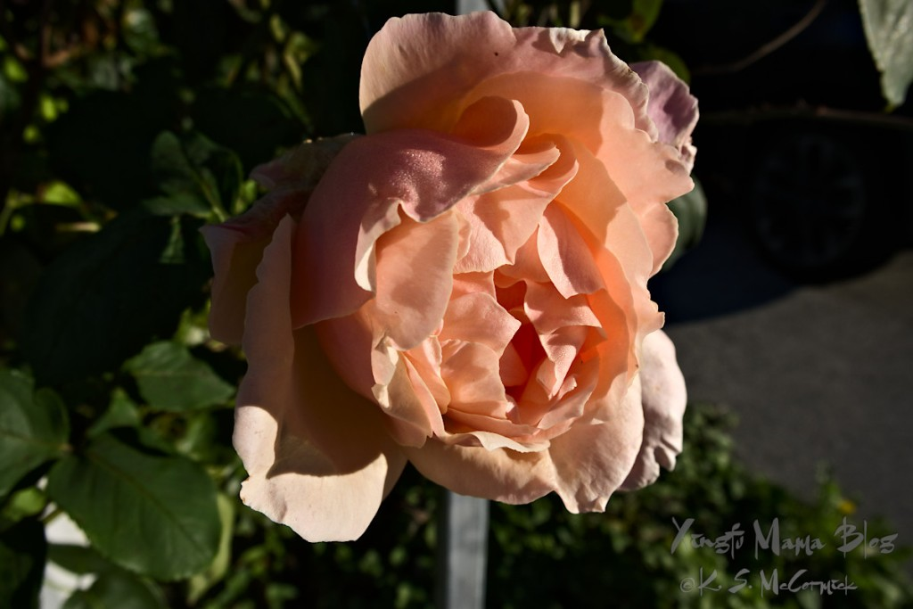 A photo of a rose, and a thought about the news coverage of today.