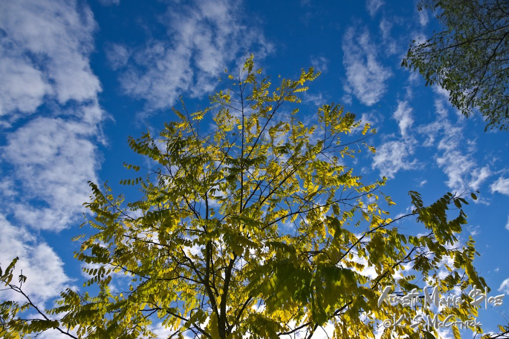 A locust tree turning from green to gold against a blue sky with a few wisps of clouds.