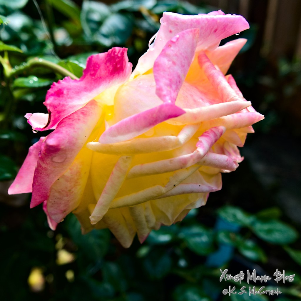 A yellow and pink heirloom rose in full bloom.