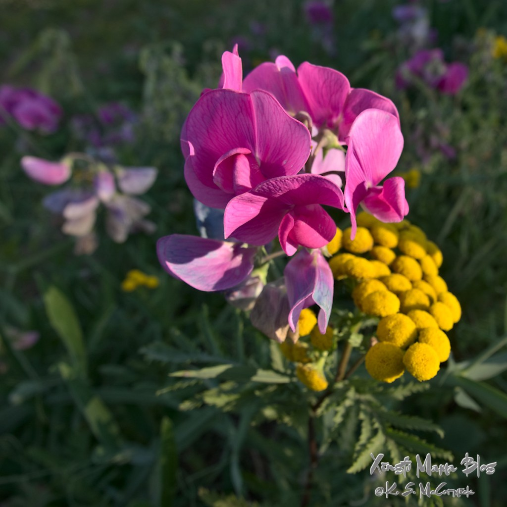 Bright pink wild sweet pea blooming beside yellow tansy.