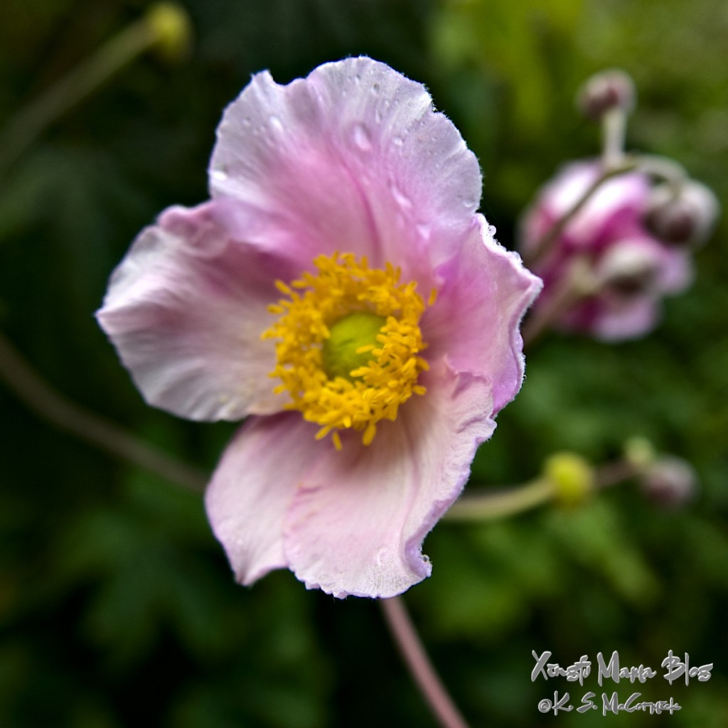 A Japanese anemone blossom with pale pink petals and a bright yellow center.