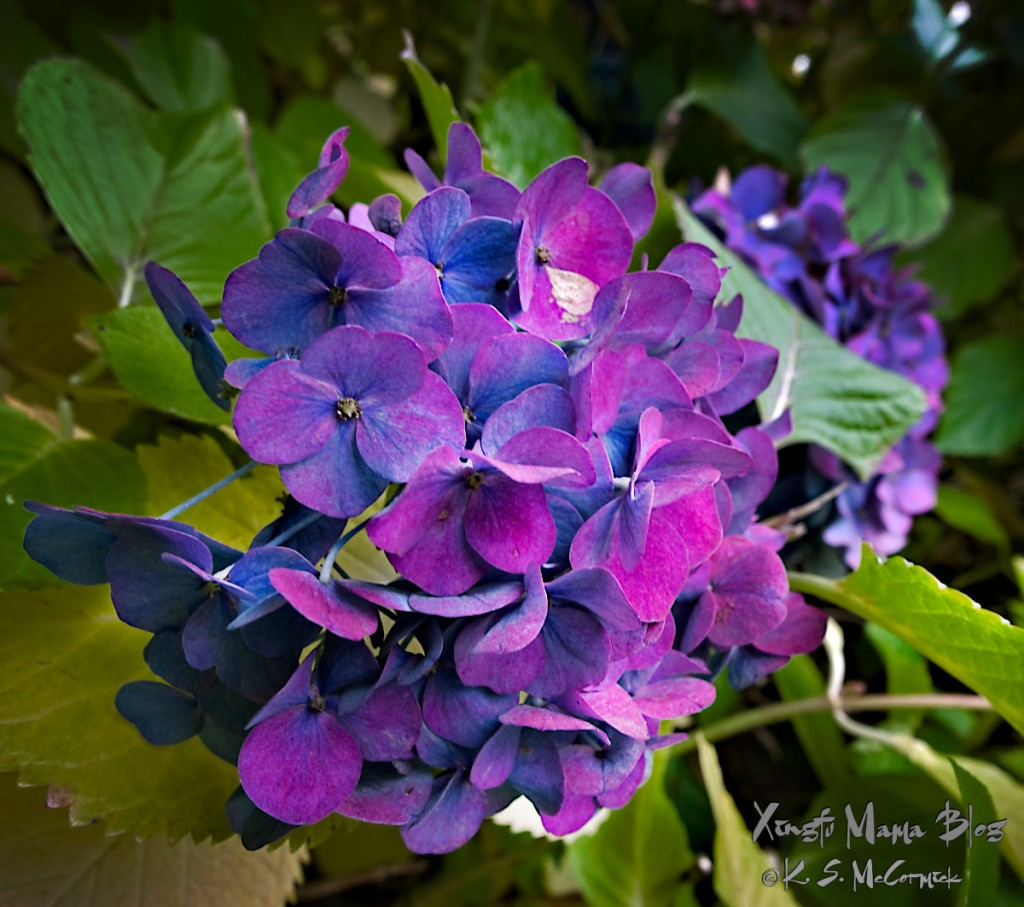 A hydrangea mop changing from deep blue to deep purple.
