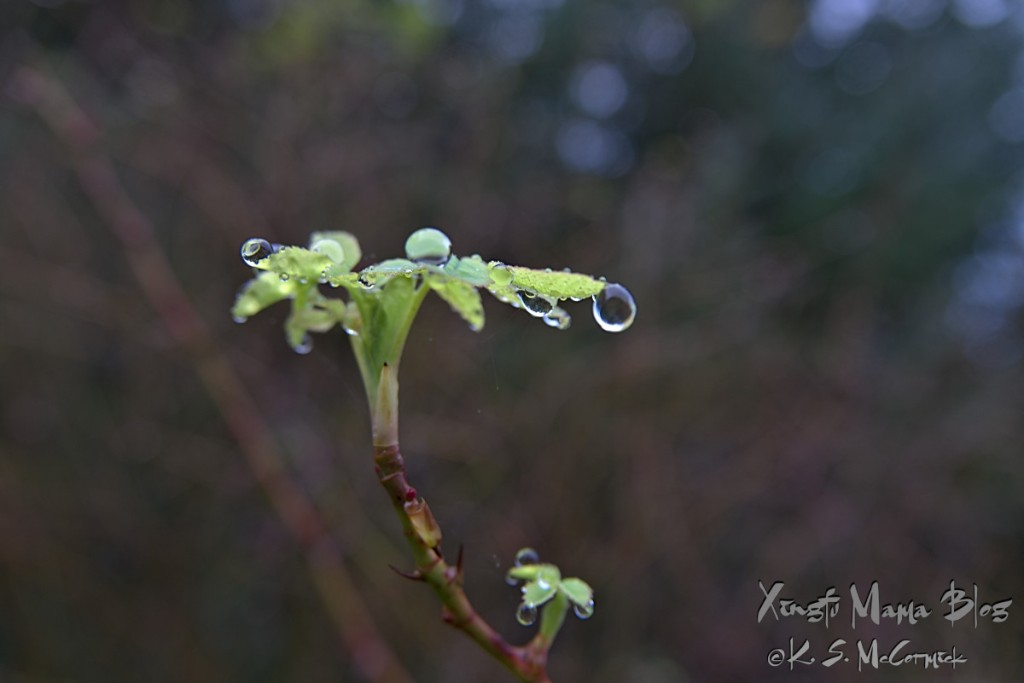 Raindrops on a shoot of a Nootka rose in Novemrber.