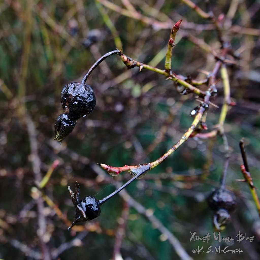 Dark rose hips and shoots on  Nootka rose in November.