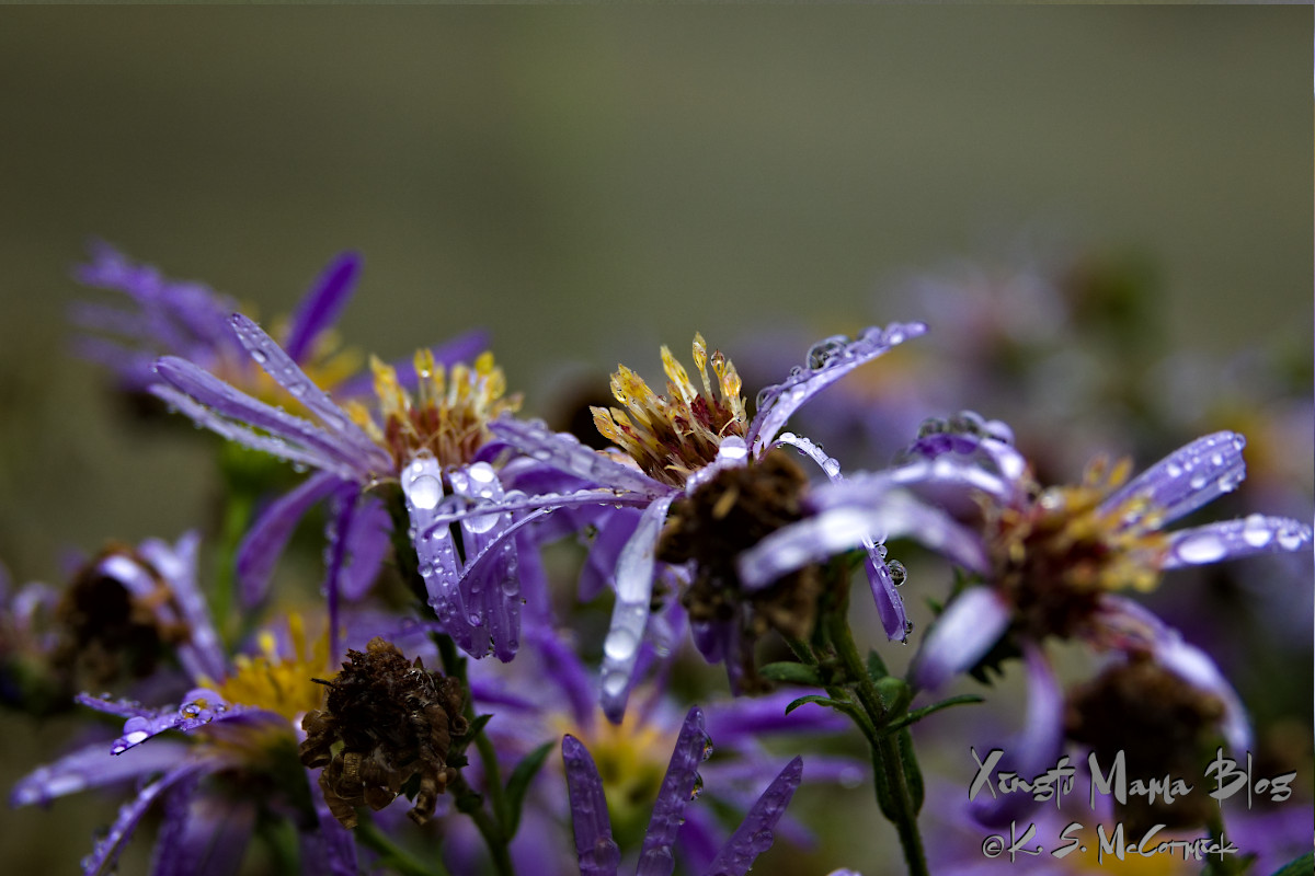 Asters covered with raindrops.