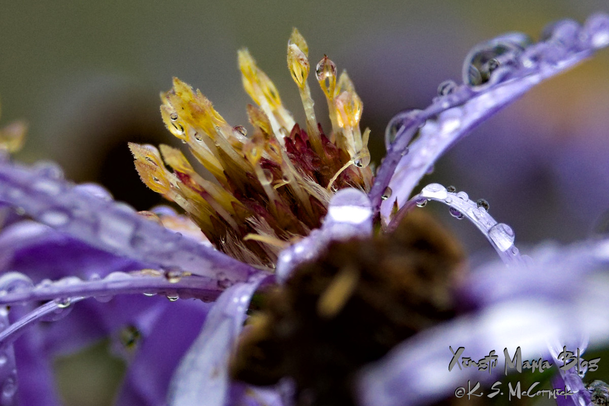 Close-up of an aster covered with raindrops.