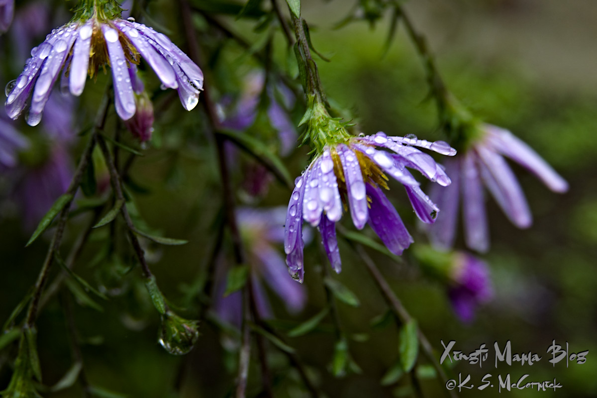 Asters drooping under the weight of raindrops.