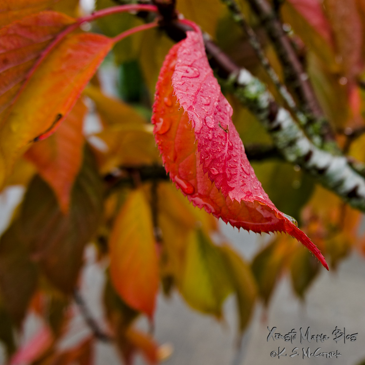 Cherry leaf covered with raindrops.
