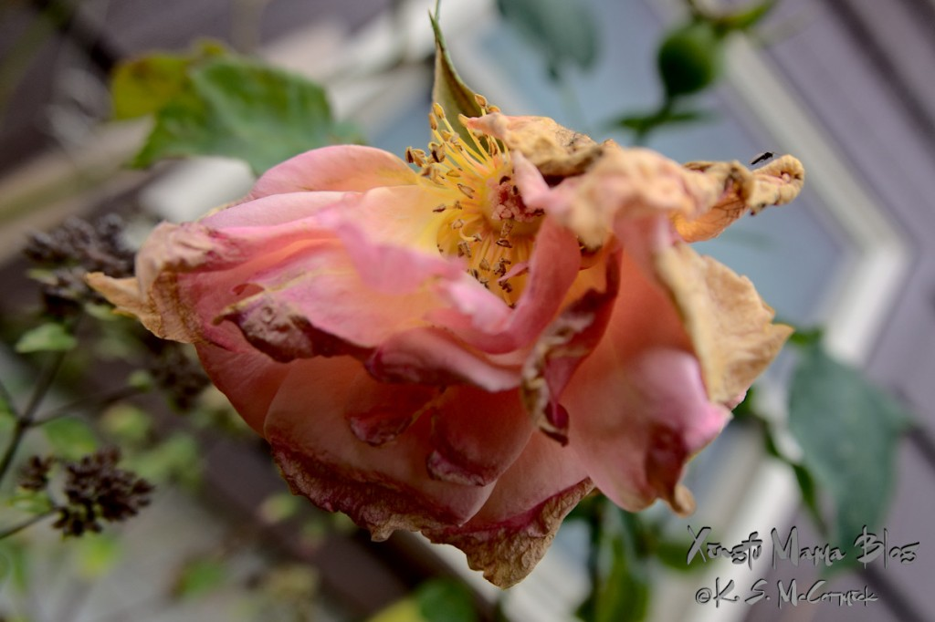 A pink rose withering and loosing petals.
