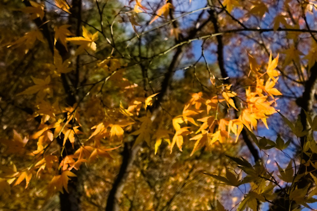 Golden Japanese maple leaves.