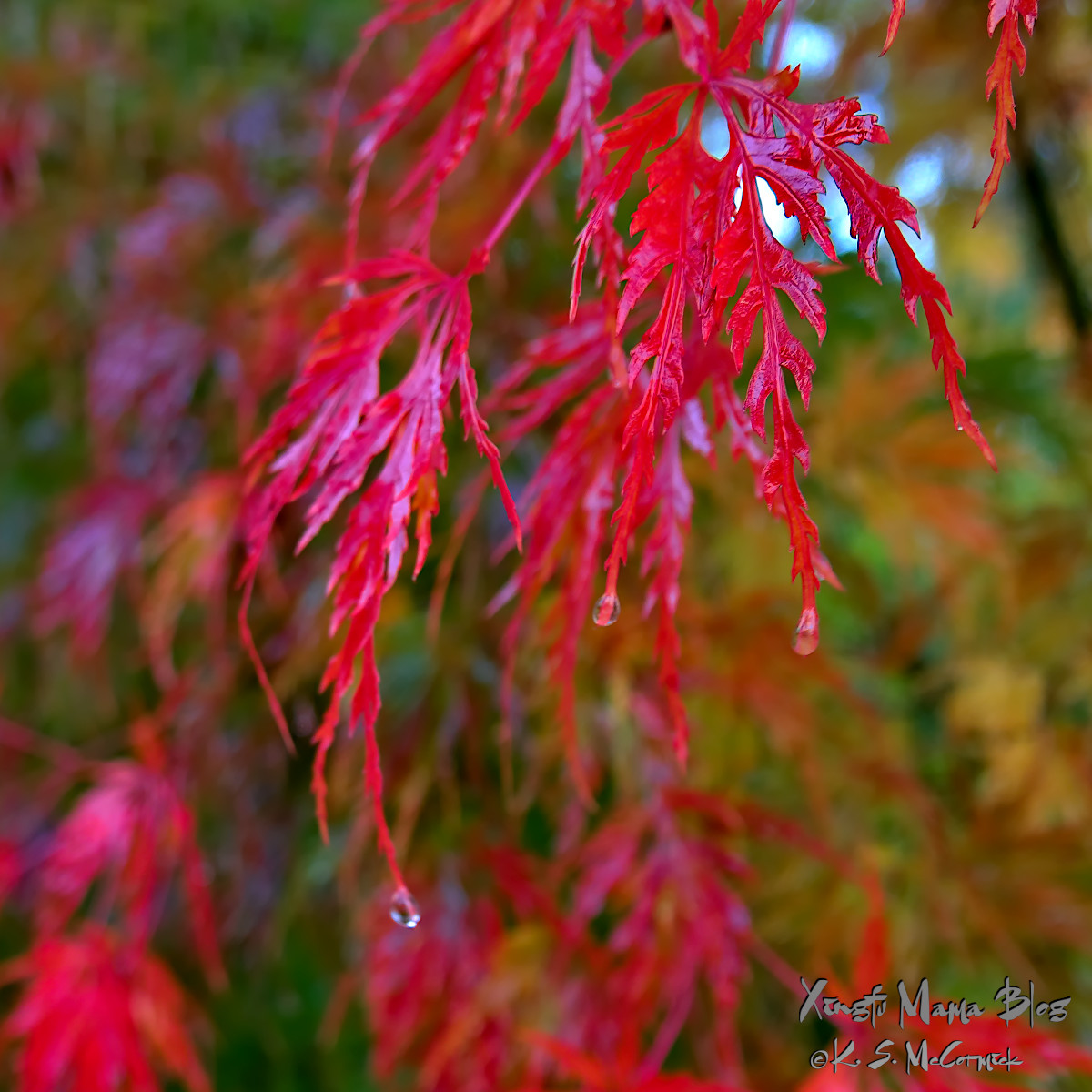 Bright red lace-leaf maple leaves dripping.