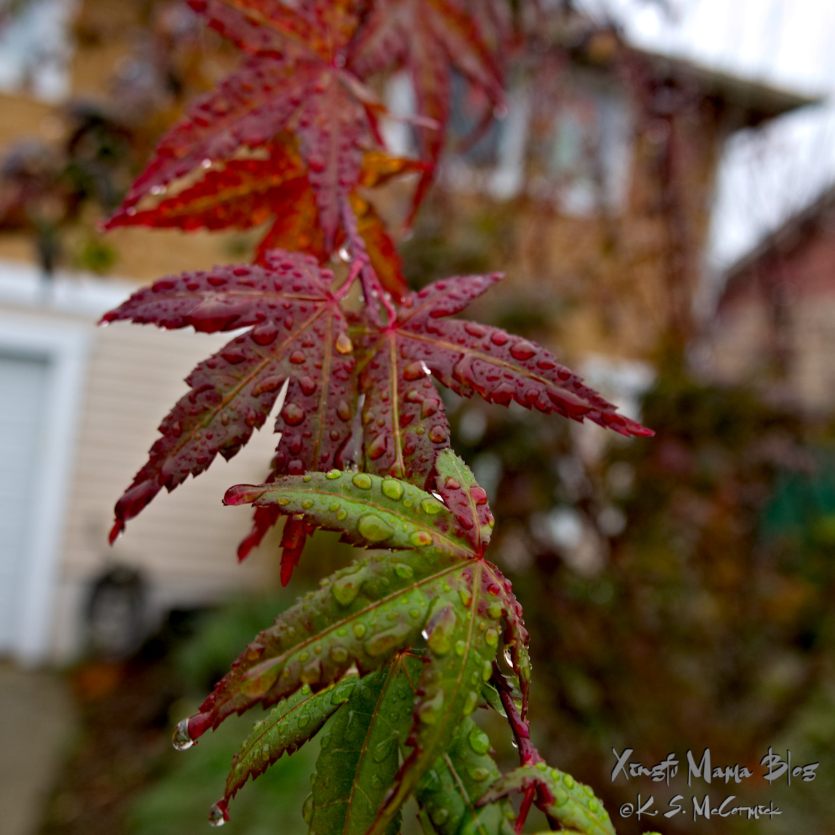 Japanese maple leaves coverd with raindrops.