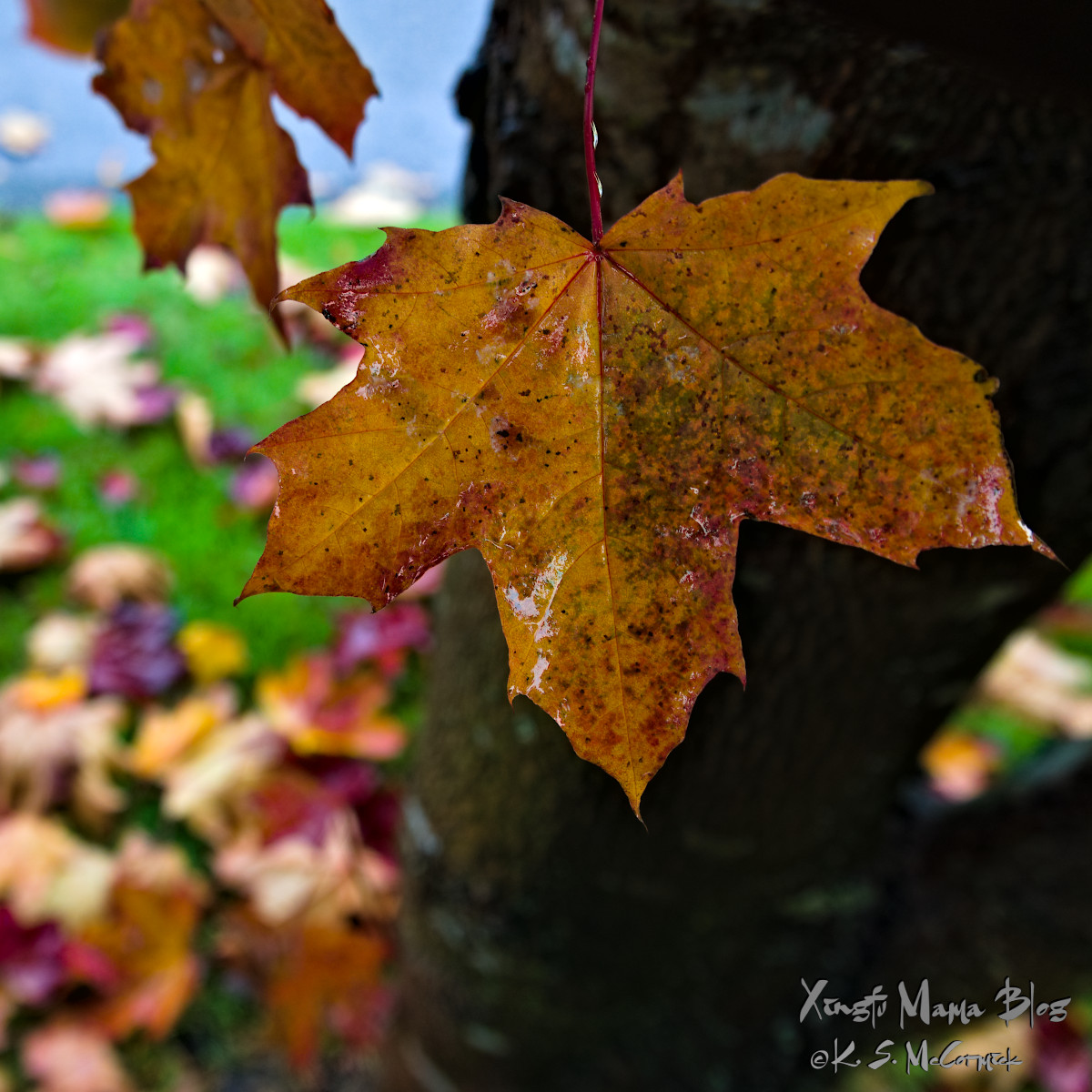 Very wet yellow maple leaf with touches of red.