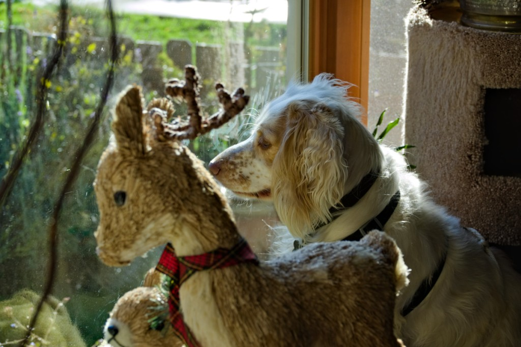 English cocker spaniel looking out the window beside some holiday decorations.
