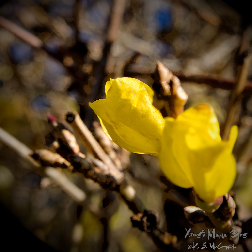 Bright yellow forsythia buds are coming out because of an abnormally mild fall.